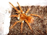 z  OUT OF STOCK - Theraphosa stirmi - GOLIATH BIRDEATER TARANTULA - around 2-2.5