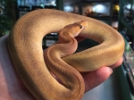 z OUT OF STOCK - CHAMPAGNE BALL PYTHON  - CB - Python regius