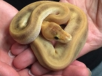 z OUT OF STOCK - CHAMPAGNE PINSTRIPE BALL PYTHON - Python regius