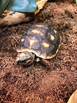 z OUT OF STOCK - CB CHERRYHEAD RED FOOT TORTOISE baby - Chelonoidis carbonaria