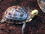 z OUT OF STOCK - CHINESE BOX TURTLE - Cuora flavomarginata