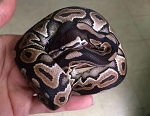 z OUT OF STOCK - CINNAMON BALL PYTHON, Python regius (produced by Reptile Rapture)