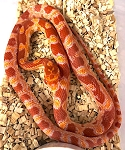 z OUT OF STOCK - CORN SNAKE - ALBINO - CB, Elaphe [Pantherophis] guttata