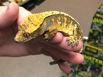 CRESTED GECKO - CB FEMALE,
