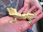 CRESTED GECKO, CB