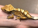 CRESTED GECKO - CB MALE,