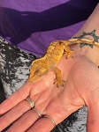 CRESTED GECKO - CB