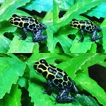 C VALLEY -  THUMBNAIL DART FROGS, CB - R. imitator