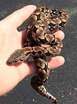 DUMERIL's BOA - female 3 - crantophis dumerili (Produced at Reptile Rapture)