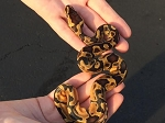 z OUT OF STOCK - ENCHI CINNAMON BALL PYTHON, CB 2016, Python regius (Produced at Reptile Rapture)