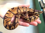 ENCHI CINNAMON BALL PYTHON, CB 2016 FEMALE, Python regius (Produced at Reptile Rapture)