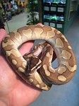 ENCHI CINNAMON BUTTER BALL PYTHON - 2016 CB - MALE, Python regius (produced at Reptile Rapture)