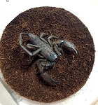 z OUT OF STOCK - Hadogenes troglodytes - FLAT ROCK SCORPION