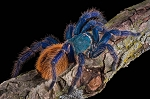 Chromatopelma cyaneopubescens - GREEN BOTTLE BLUE - 1/2