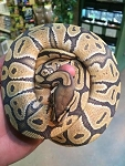 z OUT OF STOCK - ORANGE GHOST BALL PYTHON - Python regius, CB FEMALE