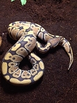 z OUT OF STOCK - ORANGE GHOST BALL PYTHON - CB, Python regius (Produced at Reptile Rapture)