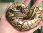 ORANGE GHOST BALL PYTHON - Python regius, CB MALE #2 (Produced by Reptile Rapture) (t)