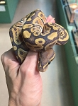 ORANGE GHOST BALL PYTHON - Python regius, CB MALE #3 (Produced by Reptile Rapture) (t)