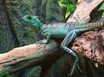 z OUT OF STOCK - GREEN BASILISK baby - Basiliscus plumifrons