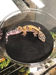 z OUT OF STOCK - LEOPARD GECKO  - HET TREMPER ALBINO, CB (Eublepharis macularius)
