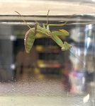 z OUT OF STOCK - ASIAN MANTIS, L4 - Hierodula chinensis