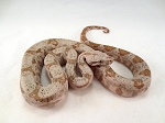 z OUT OF STOCK - CB HOG ISLAND BOA (dwarf boa) - boa constrictor imperator