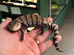 z OUT OF STOCK - BLUE TONGUE SKINK - CB IRIAN JAYA babies - Tiliqua sp.