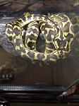 z OUT OF STOCK - CARPET PYTHON - IRIAN JAYA, Morelia spilota