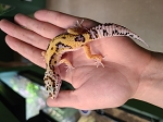 z OUT OF STOCK - LEOPARD GECKO - JUNGLE - Eublepharis macularius