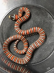 ON HOLD - KNOBLOCHI MT KING SNAKE - 2017 female #2, Lampropeltis knoblochi