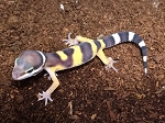z OUT OF STOCK - LEOPARD GECKO - CB BABIES (Eublepharis macularius)