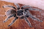 z OUT OF STOCK - Lasiodora parahybana - BRAZILIAN SALMON PINK BIRD-EATING TARANTULA - 2 to 3 inches