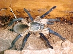 z OUT OF STOCK - Monocentropus balfouri - SOCOTRA ISLAND BLUE BABOON TARANTULA