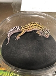z OUT OF STOCK - LEOPARD GECKO  - MACK SNOW HET ECLIPSE, CB (Eublepharis macularius)