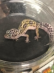 z OUT OF STOCK - LEOPARD GECKO  - MACK SNOW HET TREMPER, CB FEMALE (Eublepharis macularius)