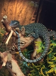 z OUT OF STOCK - FR young MANGROVE monitors, Varanus indicus