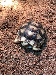 z OUT OF STOCK - CB MARGINATED TORTOISE - babies - Testudo marginata