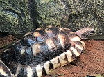 CB MARGINATED TORTOISE - 8-10