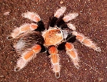 z OUT OF STOCK - Brachypelma boehmei - MEXICAN FIRE LEG TARANTULA