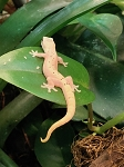 z OUT OF STOCK - MOURNING GECKO, CB - Lepidodactylus lugubris