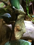 z OUT OF STOCK - MOSSY LEAF TAIL GECKO WC - Uroplatus sikorae