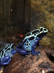 z OUT OF STOCK - NEW RIVER, DYEING POISON ARROW FROG - Dendrobates tinctorius
