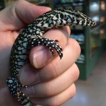 z OUT OF STOCK - NILE MONITOR, Varanus niloticus