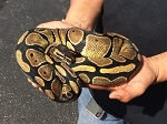 BALL PYTHON - NORMAL, FEMALE