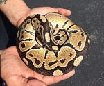 BALL PYTHON - NORMAL, MALE