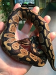 z OUT OF STOCK - NORMAL CB BALL PYTHONS - Python regius