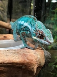 z OUT OF STOCK- NOSY BE PANTHER CHAMELEON - Furcifer pardalis