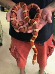 NUEVO LEON KING SNAKE - ORANGE MILKSNAKE PHASE - 2007 MALE, Lampropeltis mexicana