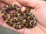 z OUT OF STOCK - CORN SNAKE, OKEETEE  - CB - Elaphe [Pantherophis] guttata