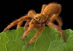 z OUT OF STOCK - Pternochilus murinus - Orange baboon tarantula